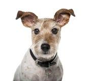 Perro del híbrido aislado en blanco Fotografía de archivo