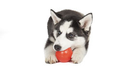 Perro del husky siberiano Imagen de archivo