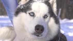 Perro del husky siberiano debajo de la nieve que cae en invierno en un día soleado almacen de video