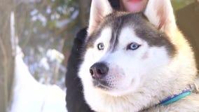 Perro del husky siberiano en un día de invierno soleado almacen de video