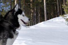 Perro del husky siberiano, espacio de la copia Vista lateral imagenes de archivo