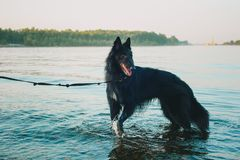 Perro del husky siberiano que permanece cerca del río de la montaña El perro está nadando en el lago fotos de archivo libres de regalías