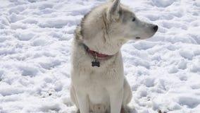 Perro del husky siberiano que se sienta afuera en la nieve que mira alrededores almacen de metraje de vídeo