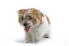 Perro del jadeo Fotos de archivo libres de regalías