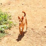 Perro del jengibre Fotografía de archivo