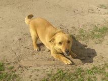 Perro del jengibre Foto de archivo libre de regalías