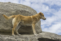 Perro del jengibre Imagen de archivo