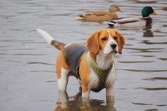 Perro del jengibre en la charca Fotos de archivo libres de regalías