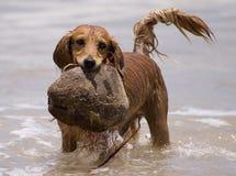 Perro del juego del agua Foto de archivo libre de regalías