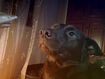 Perro del Kelpie Imagenes de archivo