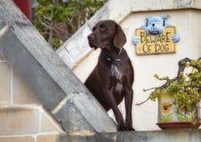 Perro del labrador retriever del chocolate que guarda el hogar de su dueño imagenes de archivo