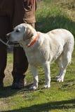 Perro del labrador retriever de la caza fotografía de archivo