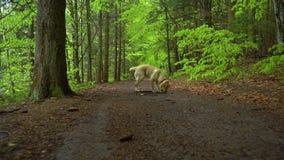 Perro del labrador retriever de la raza que camina a través de tiro del cardán de Steadicam del bosque El perrito rubio del perro almacen de metraje de vídeo