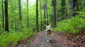 Perro del labrador retriever de la raza que camina a través de tiro del cardán de Steadicam del bosque El perrito rubio del perro almacen de video