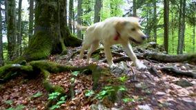 Perro del labrador retriever de la raza que camina a través del tiro ghimbal de Steadicam del bosque El perrito rubio del perro d almacen de video
