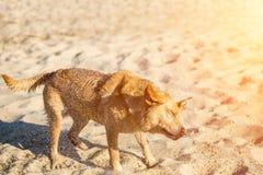 Perro del labrador retriever en la playa Labrador rojo sacude apagado el agua Llamarada de Sun Imagen de archivo libre de regalías