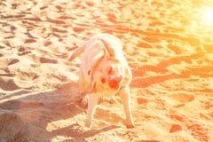Perro del labrador retriever en la playa Labrador sacude apagado el agua Llamarada de Sun Fotos de archivo
