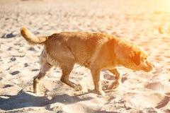 Perro del labrador retriever en la playa Llamarada de Sun Fotos de archivo