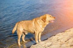 Perro del labrador retriever en la playa Llamarada de Sun Imagenes de archivo