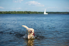 Perro del labrador retriever que corre a través del agua que crea gotitas enormes del chapoteo y de agua Fotos de archivo libres de regalías