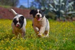 Perro del landseer del perrito Foto de archivo libre de regalías