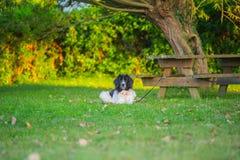 Perro del landseer del perrito Fotografía de archivo libre de regalías