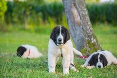 Perro del landseer del perrito Fotos de archivo libres de regalías