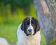 Perro del landseer del perrito Imágenes de archivo libres de regalías