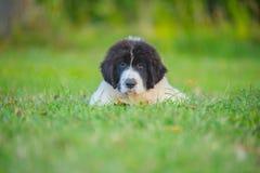 Perro del landseer del perrito Imagen de archivo libre de regalías