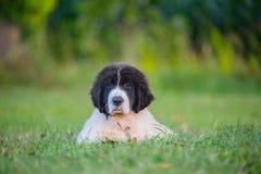 Perro del landseer del perrito Fotos de archivo
