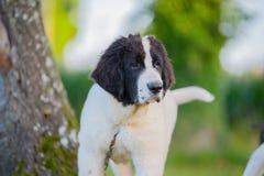 Perro del landseer del perrito Imagen de archivo