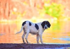 Perro del landseer del perrito Fotografía de archivo