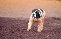 Perro del landseer del perrito Imagenes de archivo