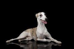 Perro del lebrel Foto de archivo libre de regalías