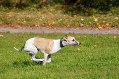 Perro del lebrel funcionado con en campo Foto de archivo