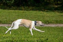 Perro del lebrel funcionado con en campo Foto de archivo libre de regalías