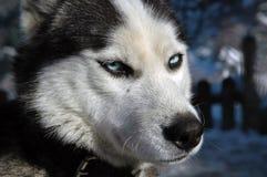 Perro del lobo Fotografía de archivo