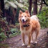 Perro del lobo Foto de archivo