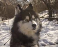 Perro del lobo del husky siberiano en el bosque del invierno al aire libre en la nieve imagenes de archivo
