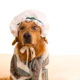 Perro del lobo vestido como golden retriever de la abuela Fotografía de archivo