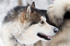 Perro del Malamute Fotos de archivo libres de regalías