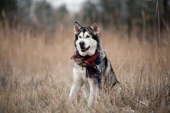 Perro del Malamute de Alaska que se sienta en bufanda Imagenes de archivo