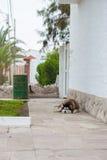 Perro del malamute el dormir en Caracas, Perú Fotos de archivo