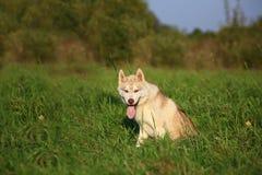 Perro del Malamute que se sienta en campo Imagen de archivo libre de regalías