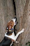 Perro del mapache del caminante Imagenes de archivo