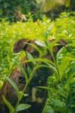 Perro del marrón del mestizo que oculta en la maleza imagen de archivo