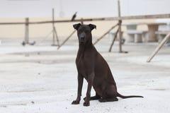 Perro del marrón oscuro que se sienta en la tierra concreta un mamífero carnívoro domesticado que tiene típicamente un hocico lar foto de archivo