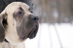 Perro del mastín Fotos de archivo