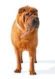 Perro del mastín de Bull Fotos de archivo