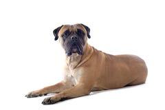 Perro del mastín de Bull Imagen de archivo libre de regalías